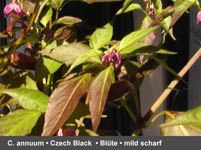 Czech Black - blühend