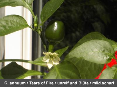 Tears of Fire Früchte und Blüte