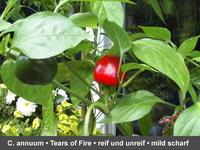 Tears of Fire mit reifer und unreifer Furcht