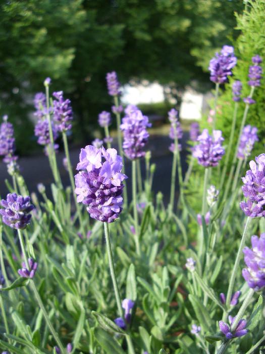 Lavendelblüten ganz nahe