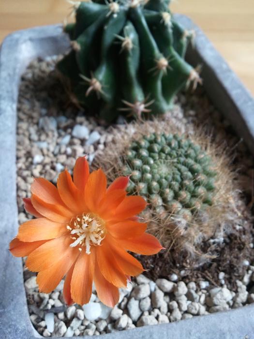 ein kleiner gr ner kaktus bl ht little green planet. Black Bedroom Furniture Sets. Home Design Ideas