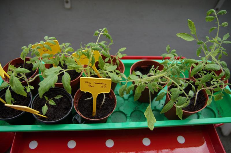 tomaten-pflaenzchen