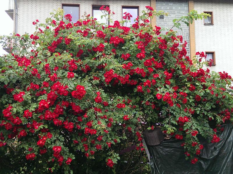 rosenmeer